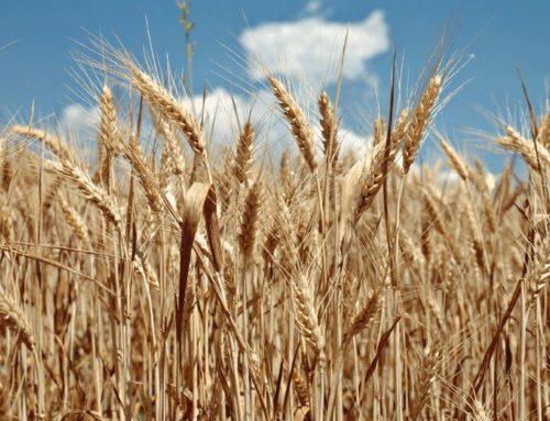 Pasta: patto di filiera per aumentare disponibilità grano duro italiano