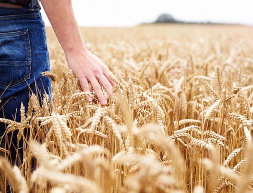 Un disciplinare garantirà la provenienza dei cereali italiani a partire dal seme