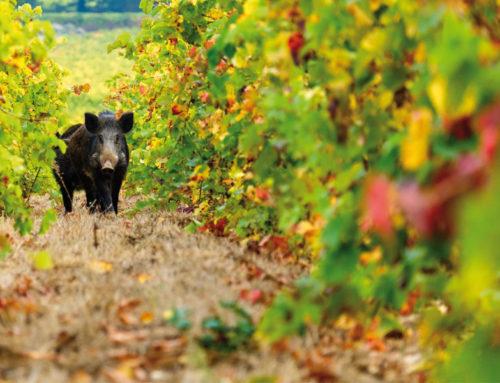 Caccia al cinghiale: nuova cartografia per la stagione venatoria
