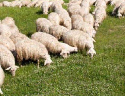 Cia Siena: gravi difficoltà per i pastori e i medio-piccoli caseifici della provincia, servono misure urgenti