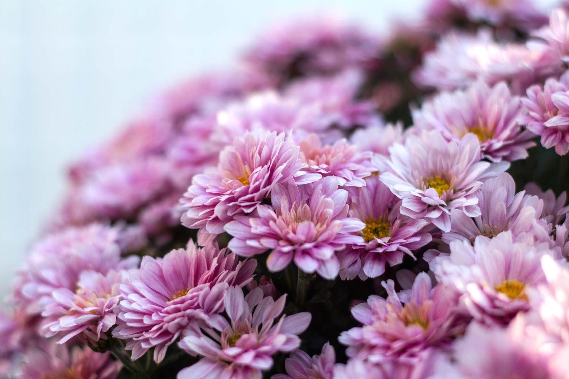 Prezzi Fiori.Commemorazione Defunti Mercato Fiori In Salute Crisantemi Di