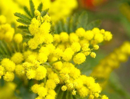 Florovivaisti Italiani. Ordinativi mimose in calo del 50% dalla Gdo