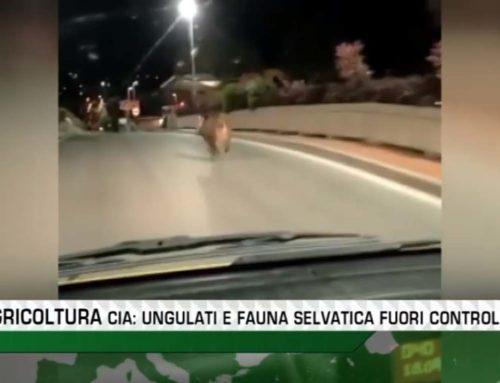 VIDEO / Cia Toscana Centro: «Ungulati e fauna selvatica fuori controllo»