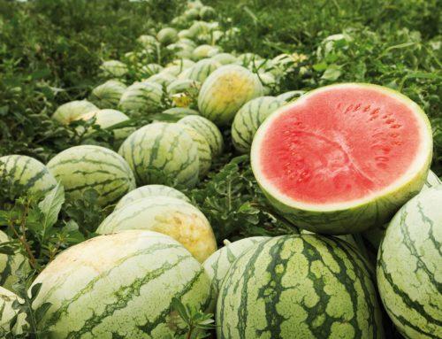 Coronavirus. Non si trova manodopera nei campi senesi. In Valdichiana agricoltori rinunciano a piantare pomodori e cocomeri