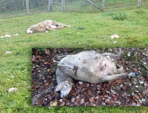 Nuovo attacco di lupi a Camporgiano (LU). Preso d'assalto il gregge di un pensionato