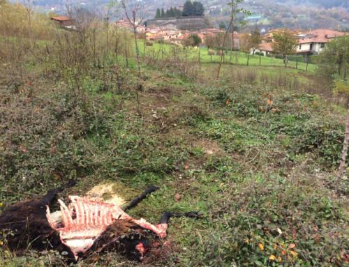 I lupi attaccano un gregge a Camporgiano. Uccise 9 pecore in un agriturismo nel centro della cittadina