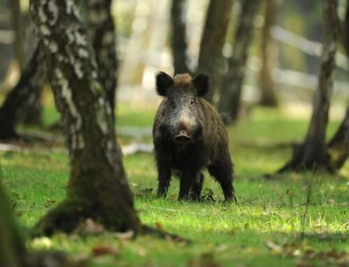 Carni di ungulati selvatici per solidarietà alimentare: avviso per i centri di lavorazione
