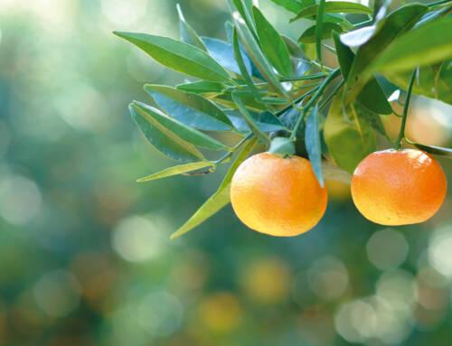 Mipaaf. Bellanova: «Dicembre è il mese delle clementine. Consumare prodotti di stagione è alla base della dieta mediterranea»