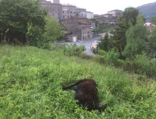 Ancora un attacco di lupi in Garfagnana. Sbranate tre pecore in una stalla di San Romano